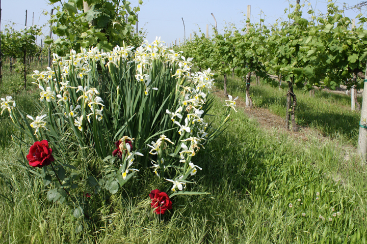 Flowers in a vineyard on Sant'Erasmo island