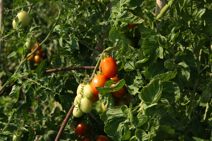 Tomatoes growing at Maravegia farm in Sant'Erasmo island