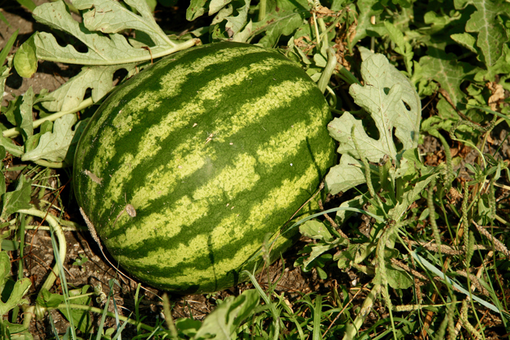 Watermelons growing at Maravegia farm in Sant'Erasmo island